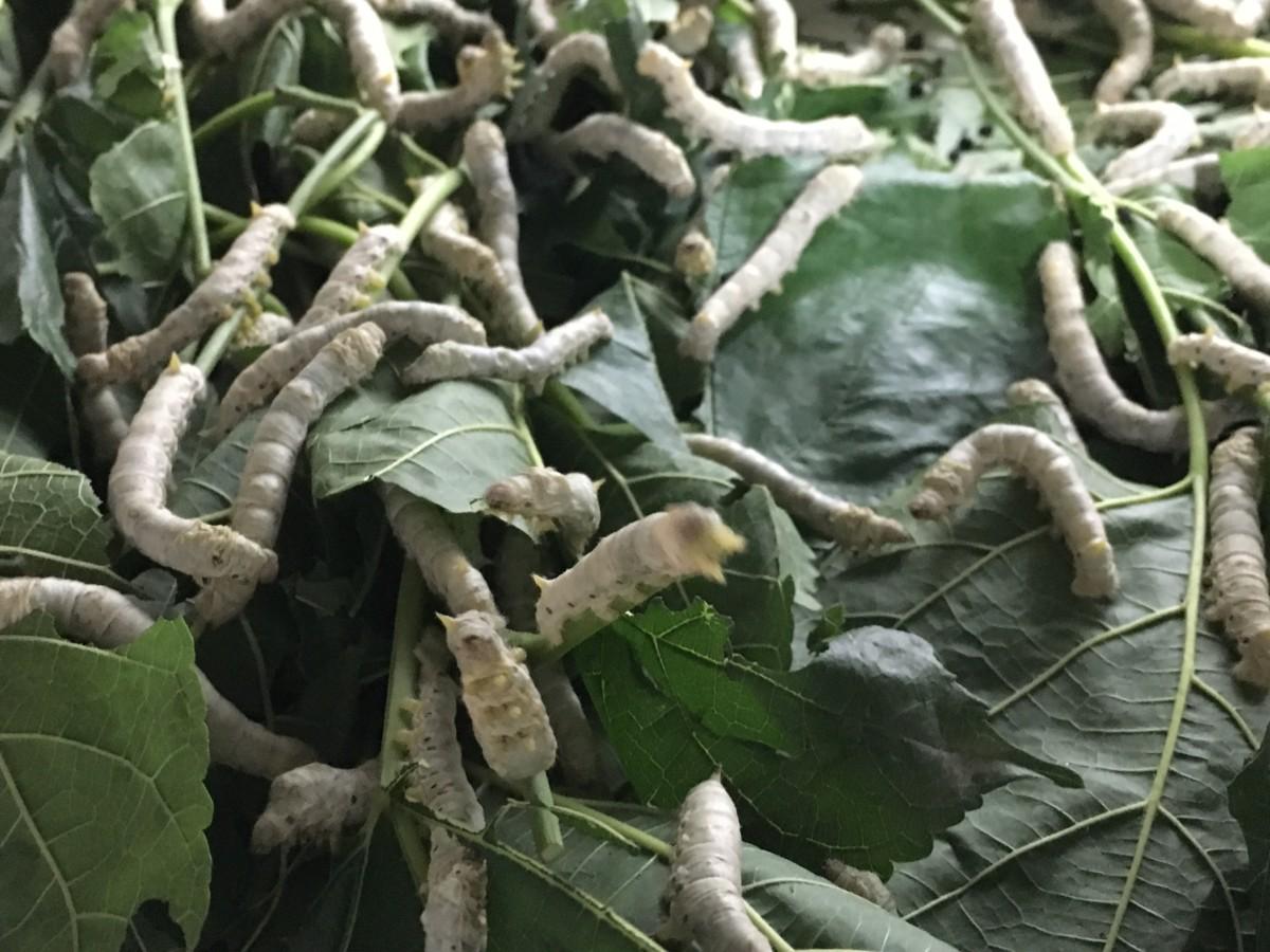 Wie entsteht eigentlich Seide? | Einblicke in eine Seidenfabrik in Rajshahi, Bangladesh | Foto: Gerrit Qualitz | GROSS∆RTIG